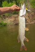 Big Pike Cached On Wobbler