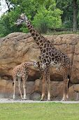 Masai and baby giraffe