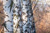 Trunks Of Birches On A Blurred Autumn Background. Birch, Betula Pendula, Tree Trunks In Autumn Fores poster
