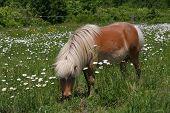 Cavalo miniatura