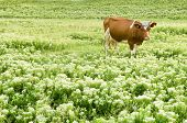 Funny Brown Cow In A Pasture, Focus On Animal poster
