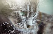 Gray Kitty With Green Eyes With Striped Color. poster