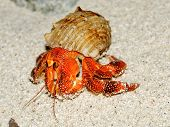 Beautiful Hermit Crab In His Shell Closeup