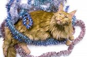 Christmas Red Marble Maine Coon Cat Lies In Multicolored Tinsel. Greeting Card With Cat On White, Is poster