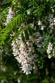 Robinia Black Locust Tree White Blossom