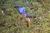 Amphiprion Nigripes Clown Fish