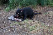 Tasmanian Devil (sarcophilus Harrisii) Endangered Species In Tasmania. Australia poster