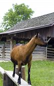 picture of nubian  - Brown Nubian Goat Standing on Bench by Shed - JPG