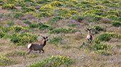 Tule Elk In California