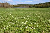stock photo of windflowers  - Green meadow with white Windflowers  - JPG