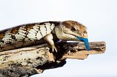 Black blue tongued lizard in wet dark shiny environement. poster
