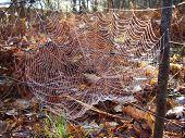 Web of European Garden Spider