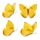 Set Of Four Beautiful Yellow Butterflies. Phoebis Philea Butterfly Isolated On White Background. But poster