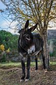 Donkey In The Middle Of Nature In Huesca Spain Equus Africanus Asinus Spanish Native Races Are In Da poster