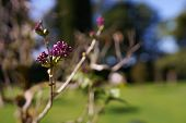 Beautiful Lilac Buds Blooming And Opening In Spring Time. Violet Flowers Growing On The Lilac Tree O poster