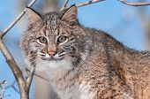 Bobcat (Lynx rufus) In Tree