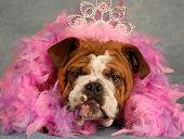 Bulldog Princess With Boa