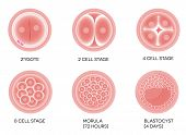 Fertilized egg development.
