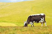 Cow On Mountain Pasture