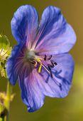 flower of medadow cranesbill - geranium pratense