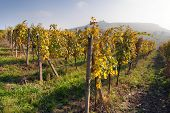 Autumnal view of vineyard - Palavske Vrchy - Moravia - Czech Republic