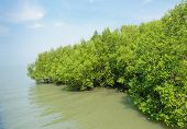Mangrove Forest In Thailand
