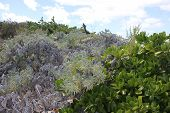 Beach Plants Growing at Shoal Beach in Anguilla
