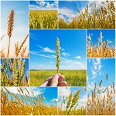 Collage Of Pictures With Wheat Ears