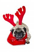 Beige Pug Wearing Christmas Attire 1