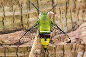 Pellucid Hawk Moth