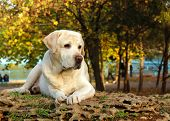 Yellow Labrador In Autumn