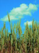 Wheat Sky