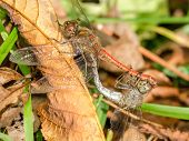 stock photo of animals sex reproduction  - Two Dragonflies Reproduction Close Up Details Macro - JPG