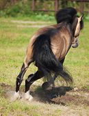 Jumping  Buckskin Welsh Pony
