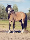 stock photo of buckskin  - Beautiful buckskin stallion welsh pony - JPG