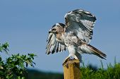Red-tailed Hawk Taking To Flight
