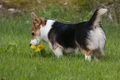 stock photo of corgi  - small corgi puppy smelling on yellow flowers - JPG