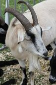stock photo of billy goat  - A pygmy goat is a breed of miniature domestic goat.