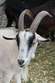 picture of billy goat  - A pygmy goat is a breed of miniature domestic goat.
