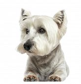 stock photo of westie  - Front view of a West Highland White Terrier lying - JPG