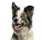 Close-up of a Border collie panting, looking away, isolated on white