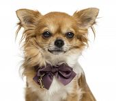 Close-up of a Chihuahua wearing a bow tie, isolated on white