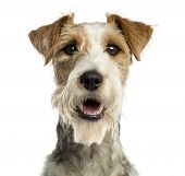 Close-up of a Fox terrier facing, panting, isolated on white