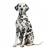 stock photo of spotted dog  - Dalmatian sitting - JPG