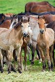 Group of horses looking at camera, Herd of animals