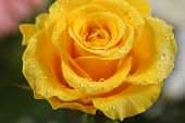 image of yellow rose  - yellow rose - JPG