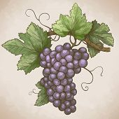 Engraving Grapes On The Branch In Retro Style