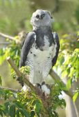 rare and endangered costa rican harpy eagle feeding