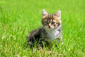 The Fluffy Kitten Plays In A Green Grass
