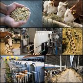stock photo of dairy cattle  - Collage of dairy industry process from feeding till packaging - JPG